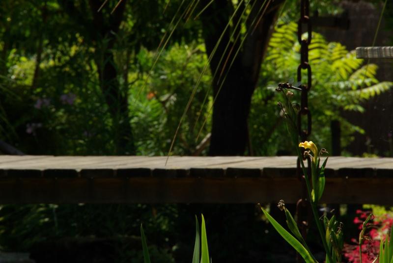 libellule dans mon jardin Imgp3411