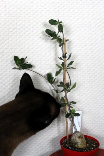 Mes plantes (Vanessa11) Fockea10