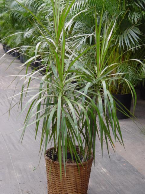 plante d'intérieur Dracae10