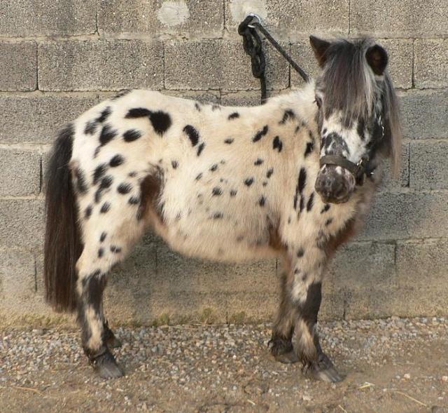 mon cheptel poney prend de la couleur :D Lucky_10