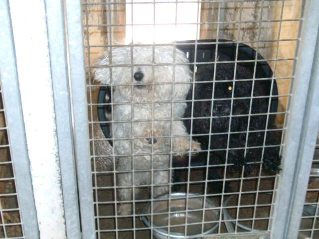 Ugo, bichon mâle 7ans en danger à Béthune (62) Urgent ! Bild1813