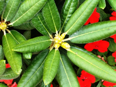 rhododendron 8_201212