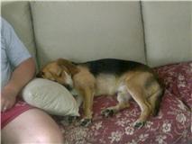 EDOUARD croisé beagle  9 mois adopté par Patrick ( 79 ) Dodo_c10