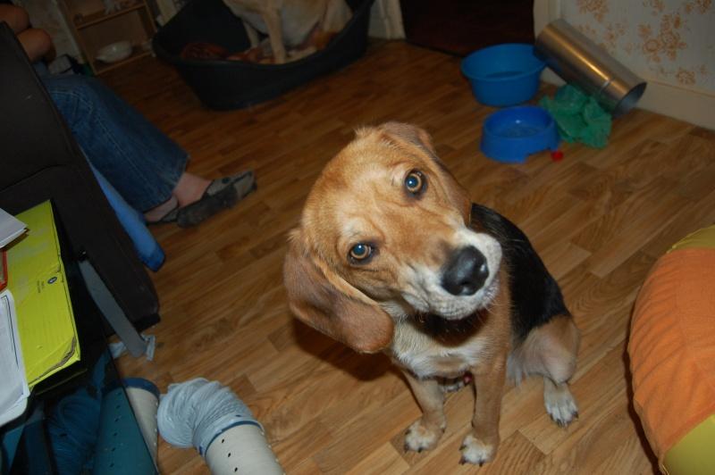 EDOUARD, croisé beagle mâle, 9 mois (44) Edouar12