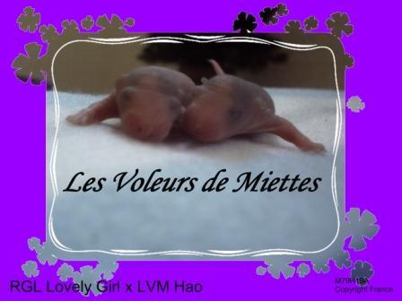 [Animaux] Les voleurs de Miettes, rats domestiques Jour_310