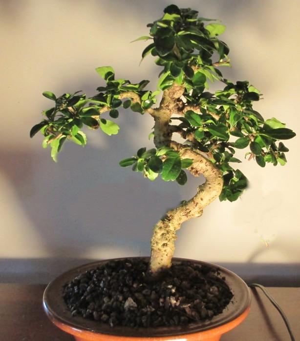 Help make my ugly bonsai beautiful! Jun18