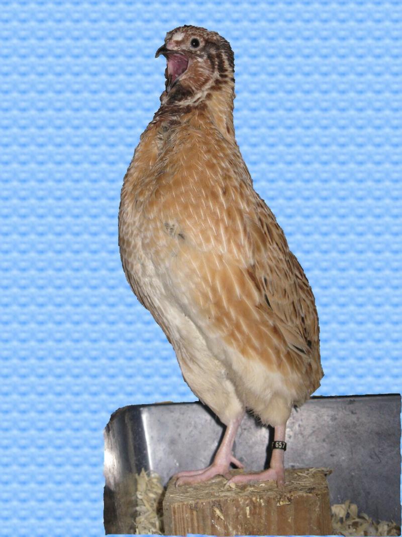 aménagement de cages d'hiver pour cailles reproductrices Chant10