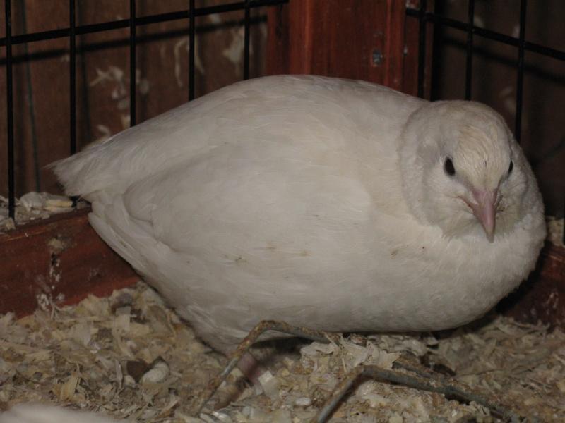 aménagement de cages d'hiver pour cailles reproductrices Img_4413