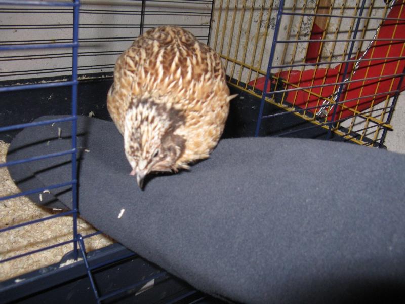 aménagement de cages d'hiver pour cailles reproductrices Img_4511