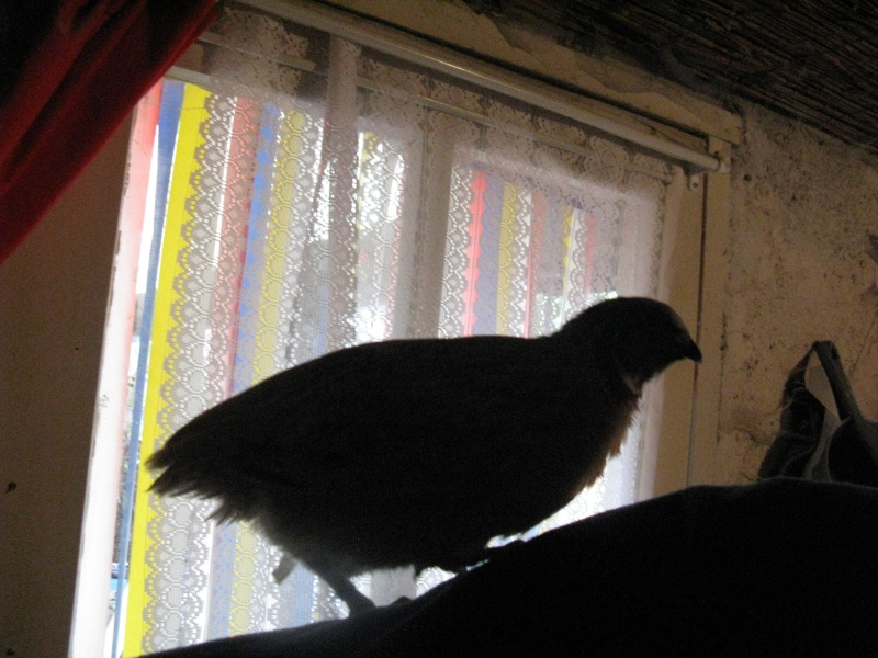 aménagement de cages d'hiver pour cailles reproductrices Img_4514