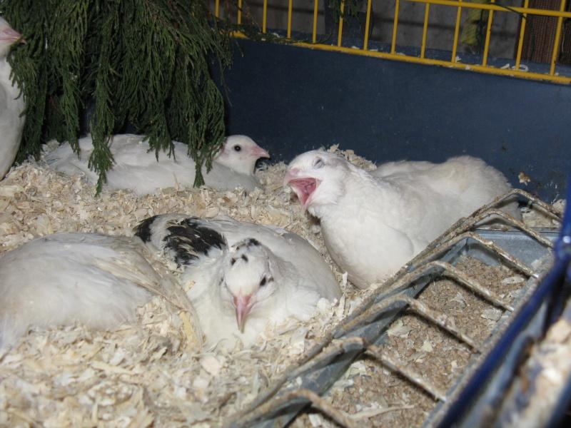 aménagement de cages d'hiver pour cailles reproductrices Img_4613