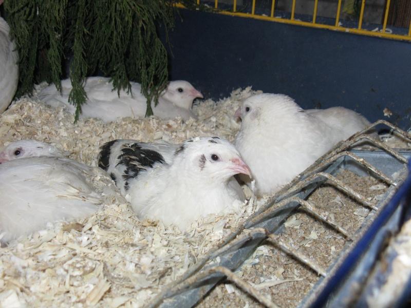 aménagement de cages d'hiver pour cailles reproductrices Img_4614