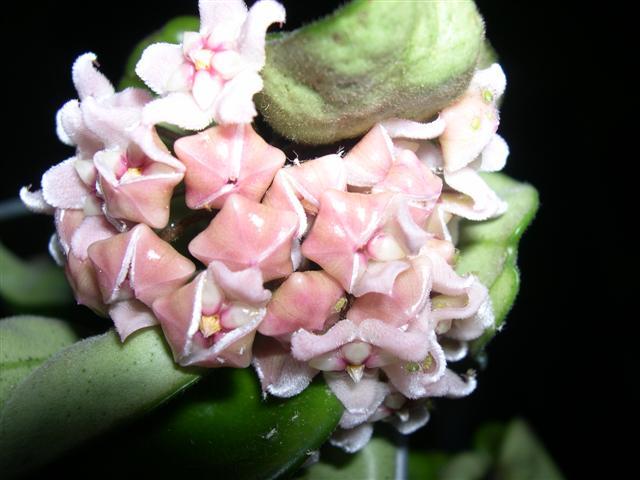 Floraison: Hoya compacta krinklekurl Dscn5523