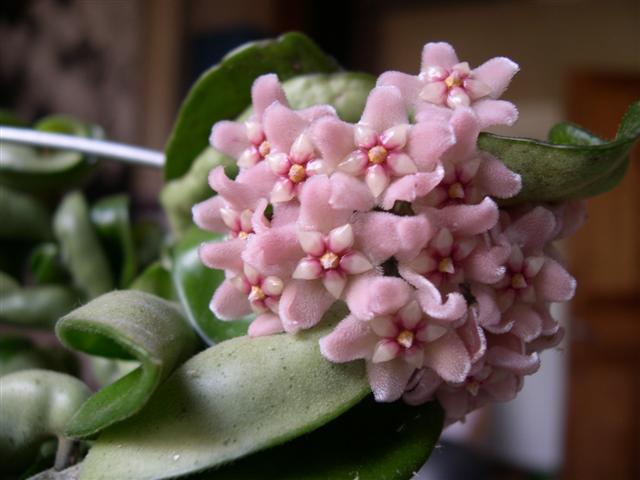 Floraison: Hoya compacta krinklekurl Dscn5524