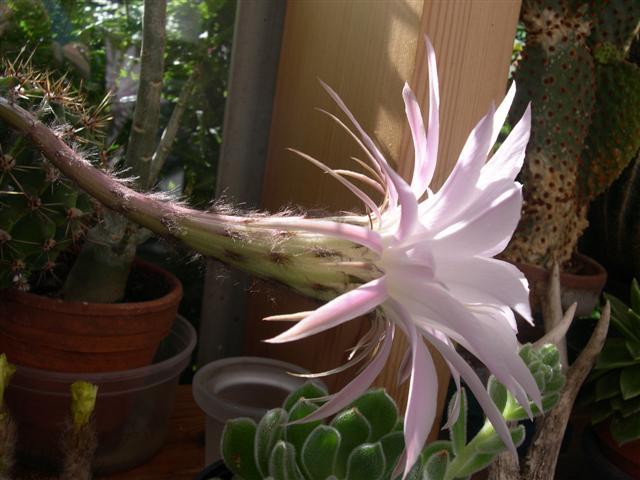 Echinopsis oxygona Dscn5527