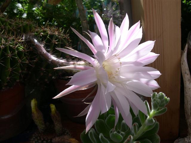Echinopsis oxygona Dscn5528