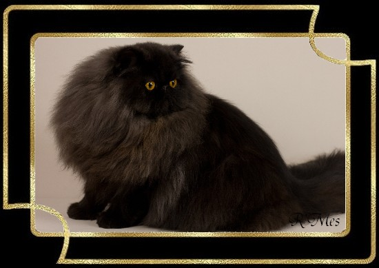 les chats de la Chatterie R' Mes 2_olim10