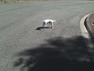 Petit chien blanc impossible à attraper Armentières-Houplines Dsc00211