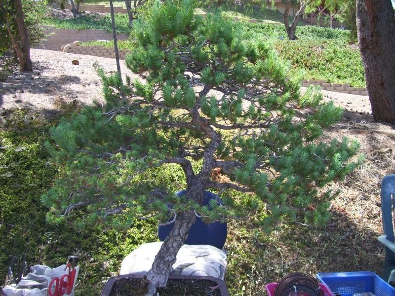 Big Italian Stone pine 100_2212
