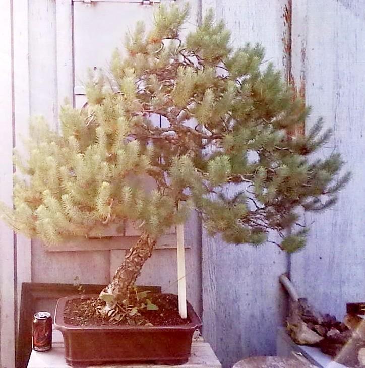 Big Italian Stone pine Croppe10