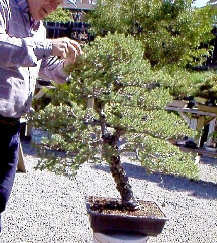 Big Italian Stone Pine