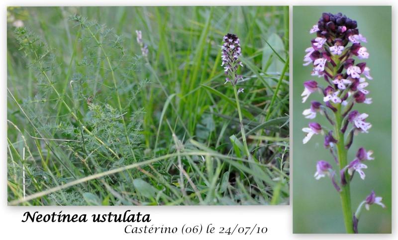 Neotinea ustulata subsp . aestivalis ( Orchis brûlé d'été ) N_ustu11