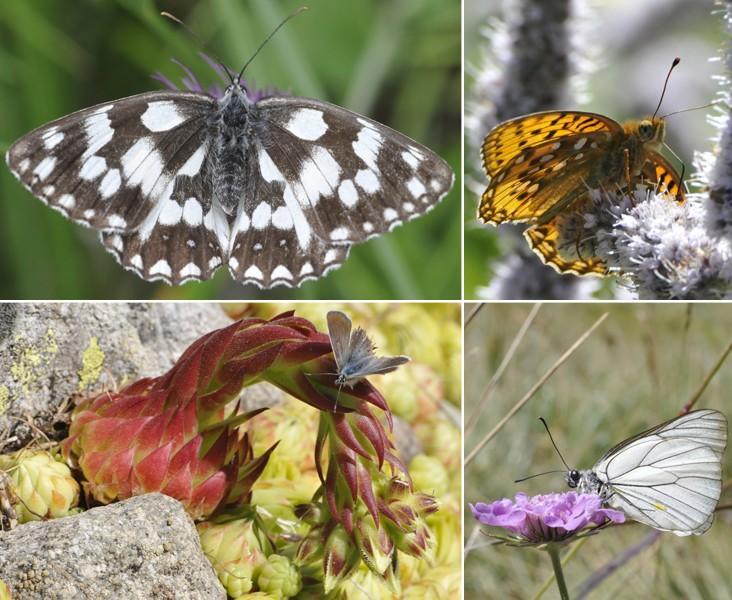 [Lepidoptera divers] Quelques papillons vus cet été Papill11