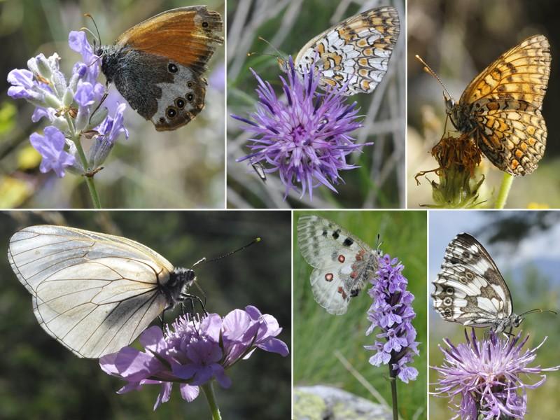 [Lepidoptera divers] Quelques papillons vus cet été Papill12
