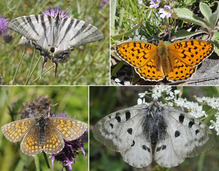 [Lepidoptera divers] Quelques papillons vus cet été Papill13
