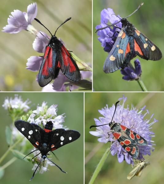 [Lepidoptera divers] Quelques papillons vus cet été Zygane10