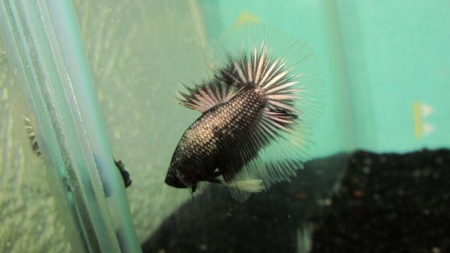mâle copper métallique x femelle black métallique Repros12