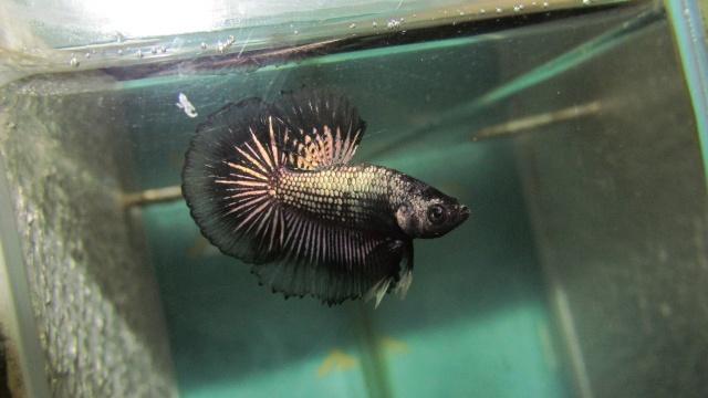 mâle copper métallique x femelle black métallique Repros13