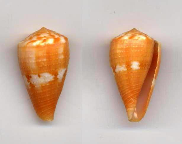 Conus (Dauciconus) cardinalis  Hwass in Bruguière, 1792 Cardin10