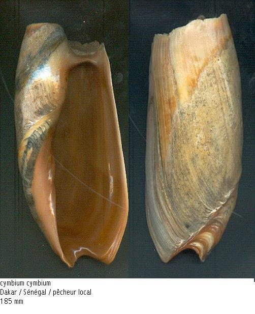 Cymbium cymbium - (Linnaeus, 1758) Cymbiu10