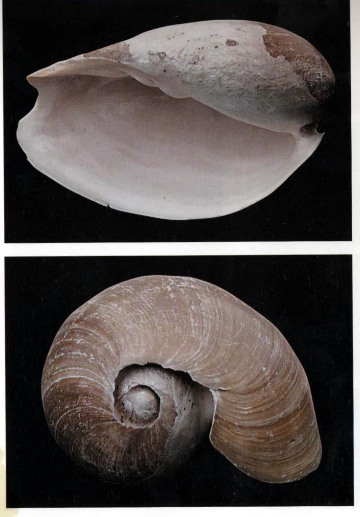 Cymbium tritonis - (Broderip, 1830) Triton10