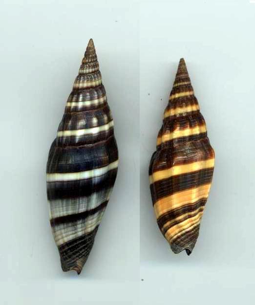 Vexillum vulpecula - (Linnaeus, 1758) Vulpec11