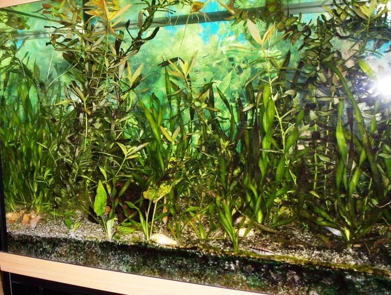 Invasion d'algues Aquari15