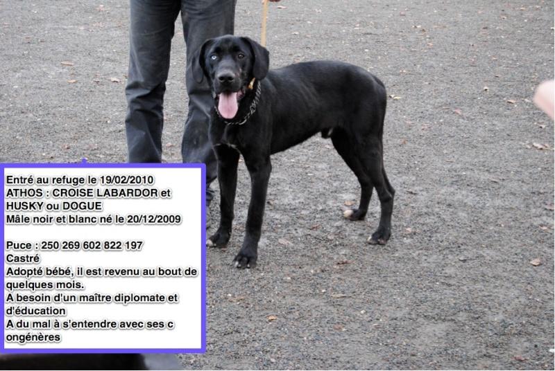 ATHOS Croisé Labrador et Husky (Dogue ?) 250269602822197 Athos10
