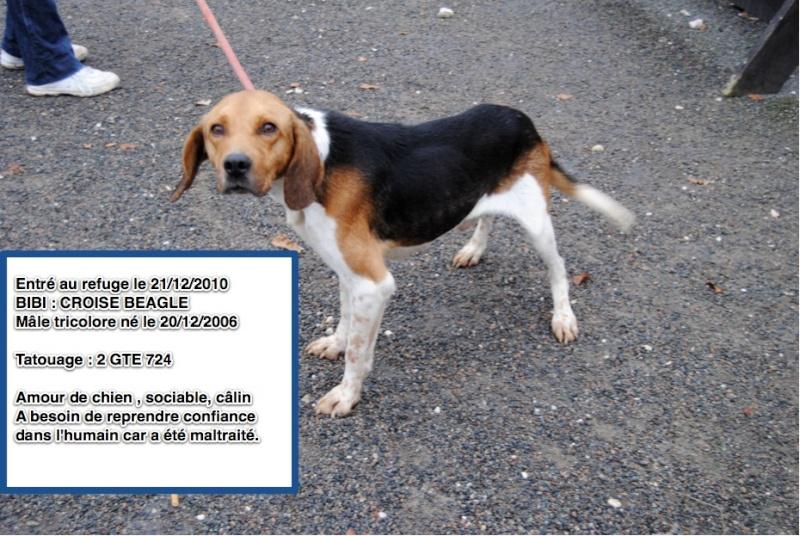 BIBI Croisé beagle en CA Bibi10