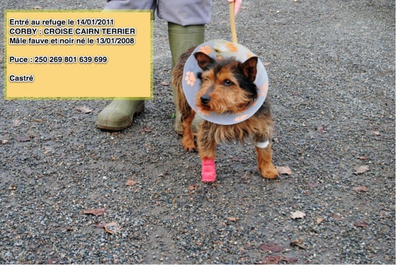 CORBY Croisé Cairn Terrier rebaptisé JACK Corby10