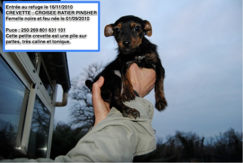 CREVETTE Croisée Ratier Pinsher en FA depuis le 05/02/11 Crevet11