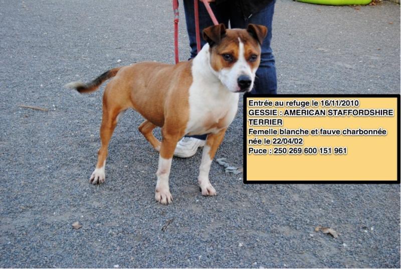 GESSIE American Staffordshire terrier 250269600151961 Gessie10