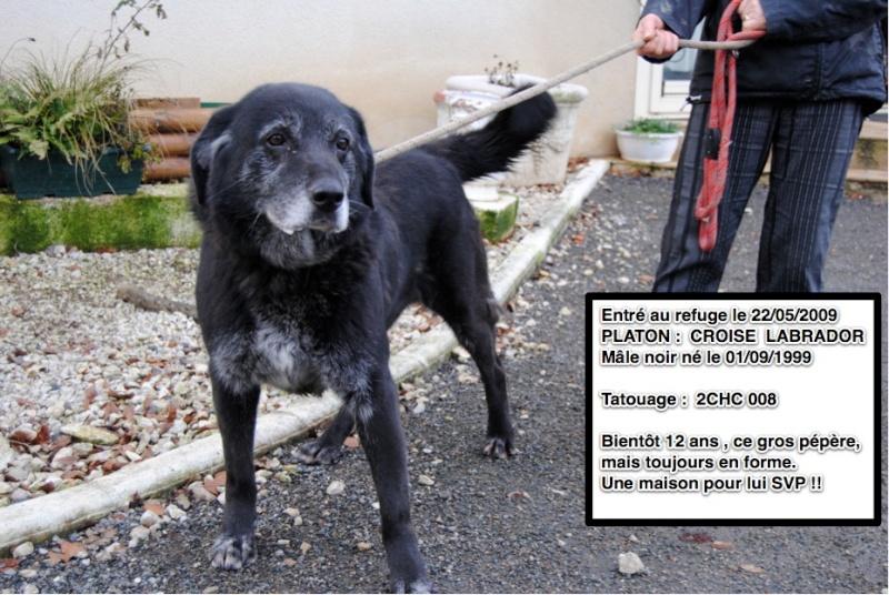 PLATON Croisé Labrador noir 2CHC008 Platon10
