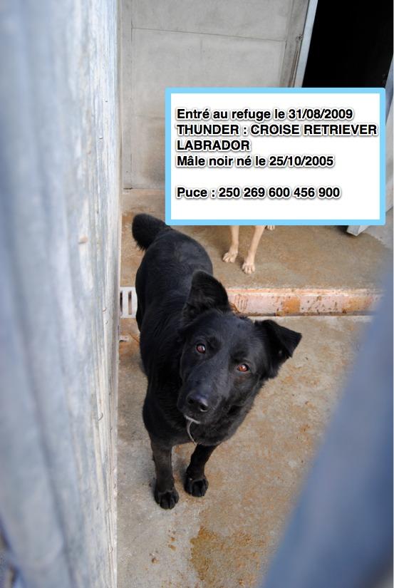 THUNDER Croisé Retriever Labrador noir 250269600456900 Thunde10