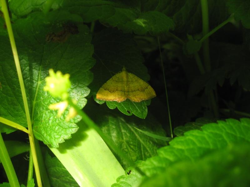 Papillon jaune à identifier. Img_3110