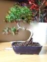 aide pour former un bonsai  Bonsai10