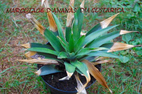 Marcotage annanas  Ananas10