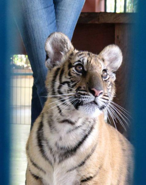 hoyas bella - Page 2 Tigre10