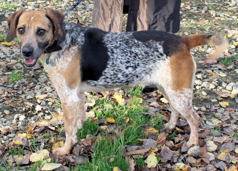 ZINA, croisée beagle de 4-5 ans - Romagné (35) Zina_210