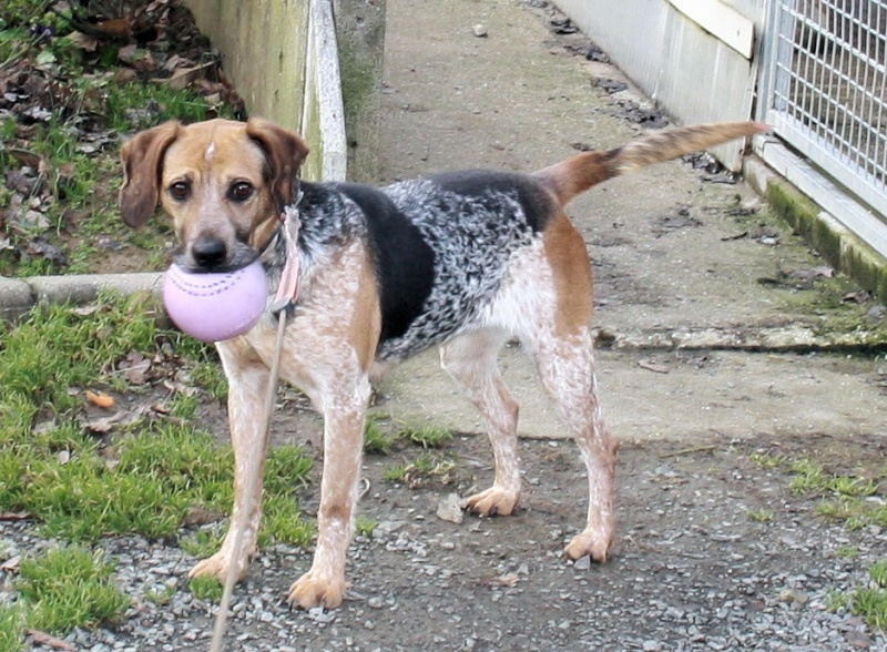 ZINA, croisée beagle de 4-5 ans - Romagné (35) Zina_410